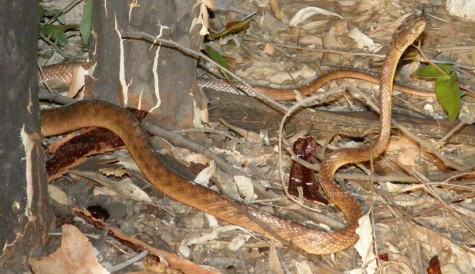 Green tree snakes and brown tree snakes are also fairly