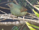 Satin Female Bowerbird